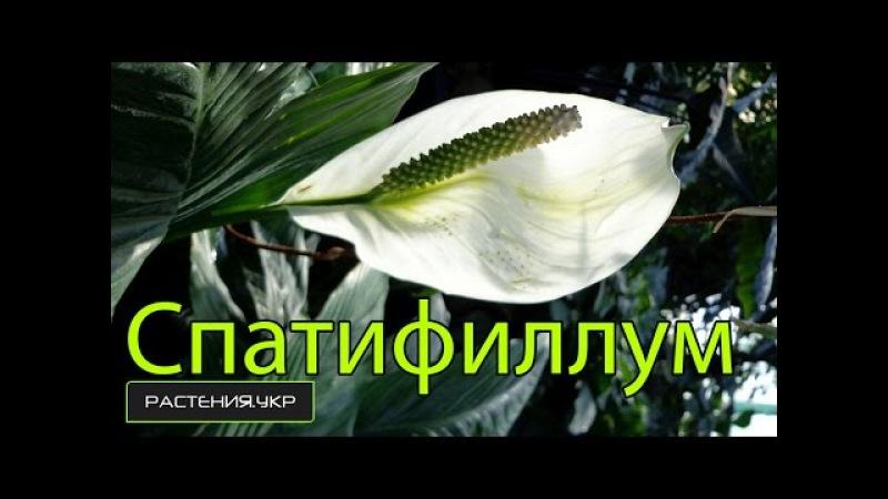 Спатифиллум уход в домашних условиях / цветок женское счастье