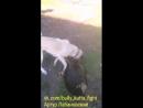 Кангал VS ротвейлер Собачьи бои