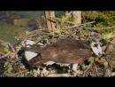 Птицы Скопы Audubon 2016 Возвращение в старое гнездо и спаривание Ospreys copulate at old nest in Maine 25 04 2016