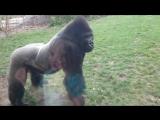 Почему никогда не стоит бить себя кулаком в грудь возле вольера с гориллами