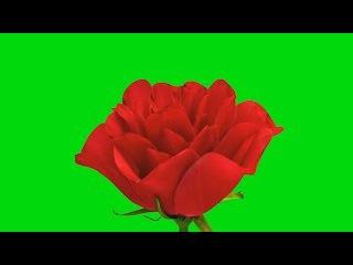 Rosa Desabrochando #1 - Rose Blooming #1 [Fundo Verde - Green Screen]