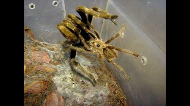 Ceratogyrus sanderi mating 8.