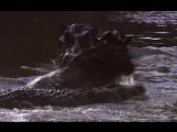 Нильский крокодил убивает антилопу гну, бегемот пытается помешать