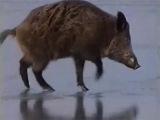 Приколы охота на кабана по льду Часть 8