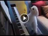 СМЕШНЫЕ ВИДЕО ПРО СОБАК. Как собака играет на фортепьяно используя ноты