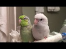 Koolaid the Parrotlet Talks Over Me