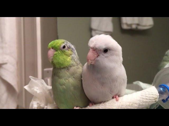 Koolaid the Parrotlet Talks Over Me » Freewka.com - Смотреть онлайн в хорощем качестве
