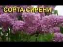 Сорта сирени - Великолепный сиреневый сад Петериса Упитиса
