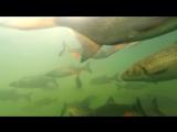 Гигантские сомы в пруду-охладителе ЧАЭС. Взгляд изнутри