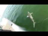Морской окунь проглотил 1.5 метровую акулу одним укусом