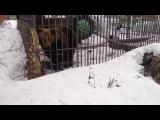 The bear Bit off the Hand of a Drunken Russian Idiot | Медведь Откусил Руку Пьяному Идиоту