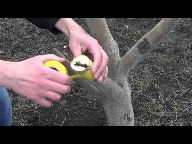 Прививка яблони. Grafting Apple trees
