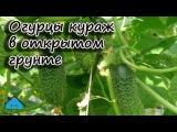 Огурцы -