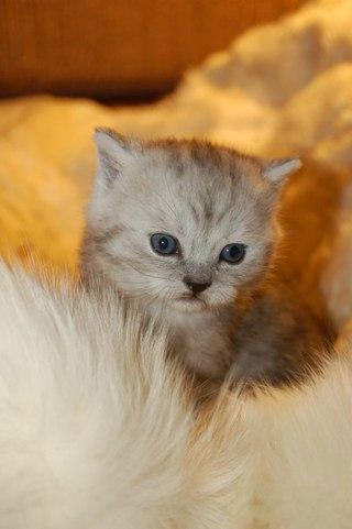 Купить кошек и котят из питомника и частные - Avito ru