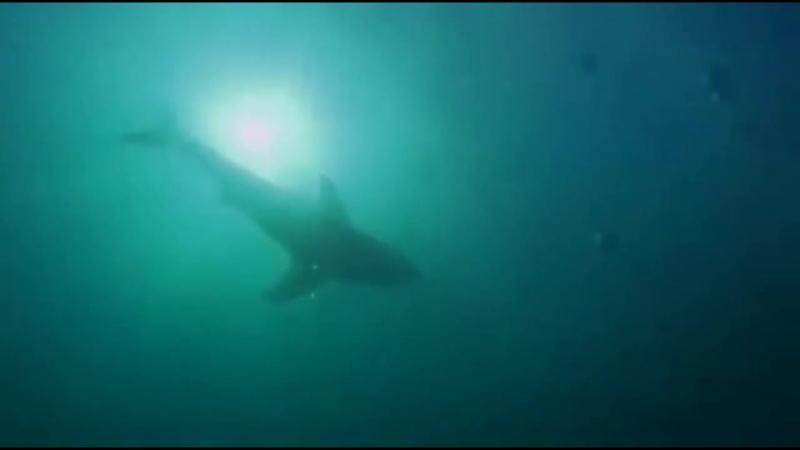 Следствие по делам хищников: Касатка сожравшая акулу | National Geographic.