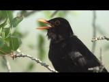 Blackbird. Song. Дрозд черный. Песня. Turdus merula