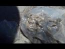 Вскрытие медузы. Слабонервым не смотреть!