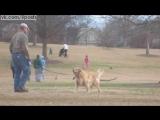 Хитрая собака ретривер не хочет идти домой с прогулки, притворяясь мёртвой / Lazy Dog Doesn't Want To Leave The Park