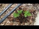Обрезка клубники после сбора урожая