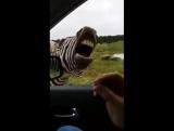 зебра поёт😂