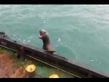 Морской котик забрался на палубу