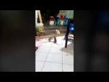 Кот наблюдает за дракой двух крыс / Cat watchingrat rats fighting!