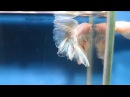 Fishchick Auctions Few Spot Vanda 2 Halfmoon Doubletail Male Long body newlisting