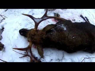Загонная охота на лося. +18
