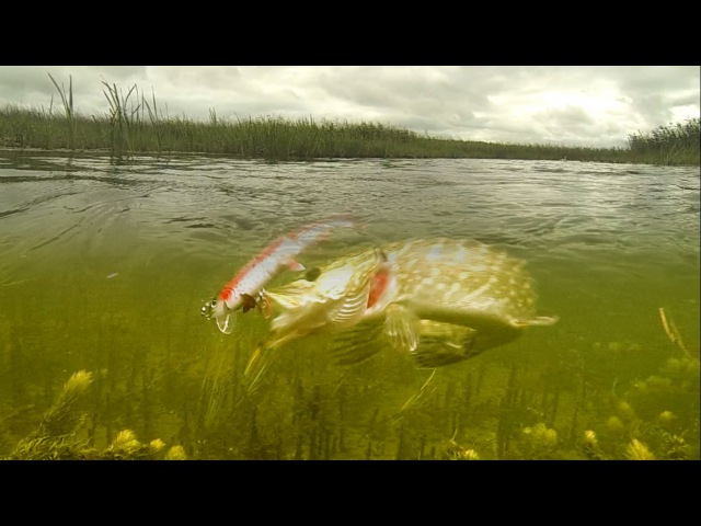 Pike attack baby Tommy (the Trout fishing lure in action). Рыбалка щука атакует приманку Томми