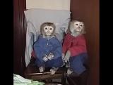 Поль и Жан! Дрессированные обезьянки. Продолжительность 20 минут