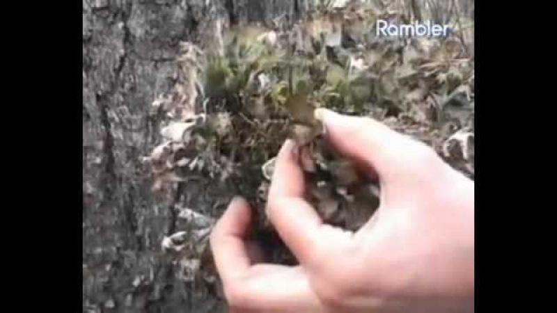 Исландский мох. Лечебные свойства исландского мха и применение в народной медицине