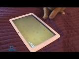 Игры для кошек на Android-планшете- тест с Фокси (cat games for Android)