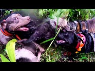 Охота на кабана с американским пит-бультерьером