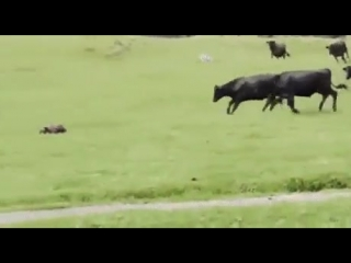 Коровы гоняют игрушечную машинку