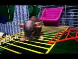 Домашняя лысая крыса сфинкс