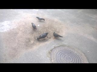 Плотоядные голуби