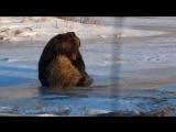 Этот медведь никогда не был так счастлив, пока не нашел тюк сена.