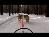 наша маламуто-гренландская шестерка:)