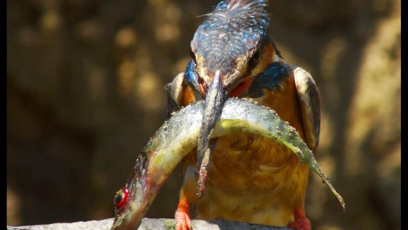 Kingfisher vs pike. Зимородок и щука.