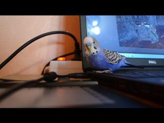 Волнистый попугай Сёмка разговаривает:)