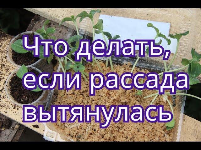 Вытянулась рассада огурцовтыквыкабачков.Что делать.(04.05.2016)