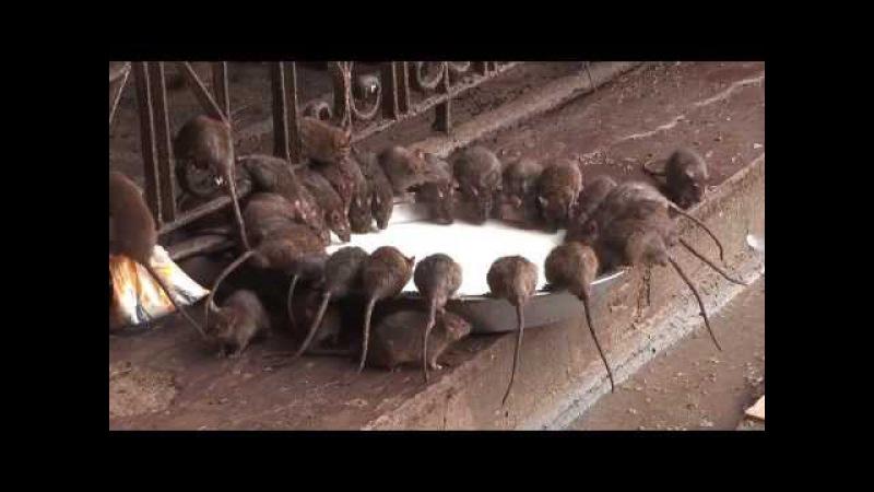 Шок - Индийский Храм Крыс