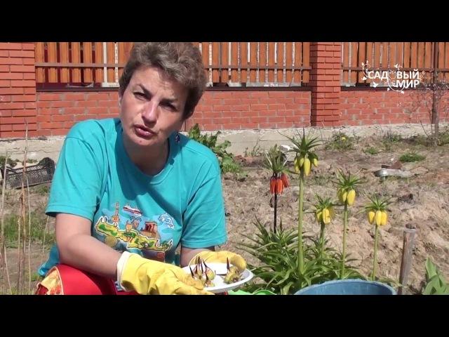 Как выращивать ацидантеру – душистый гладиолус. Сайт Садовый мир