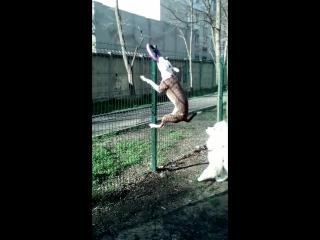 #Чибис #пуллер #забор
