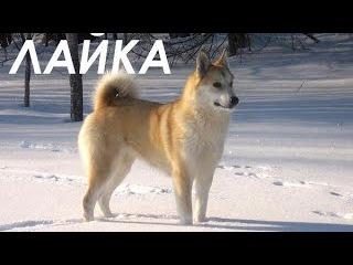 "Лайка. Собака - человек. Из цикла ""Охота и рыбалка в Якутии""."