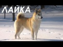 Лайка. Собака - человек. Из цикла Охота и рыбалка в Якутии.