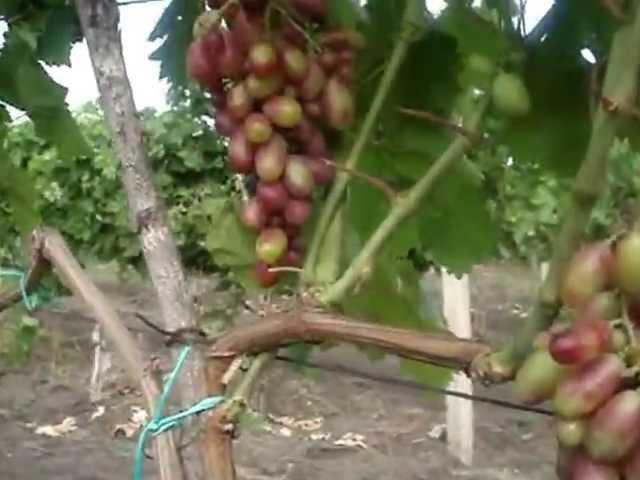 Виноградник во время закладки, через 6 месяцев, через 24 месяца...Смотрим. Молдова