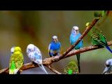 Попугаи. Волнистые Попугаи / Parrots, budgies, talking parrot