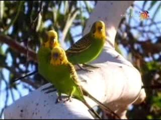 Волнистые попугайчики в природе. Часть 2.
