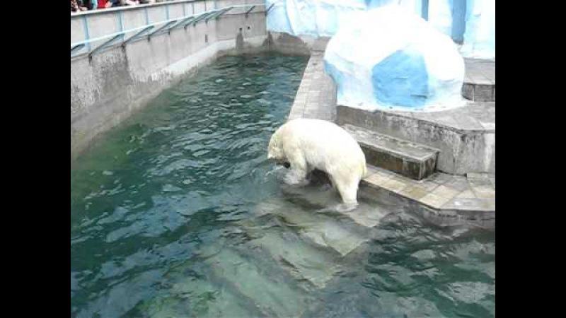 Белый медведь растерзал ее (Polar bear tore her)